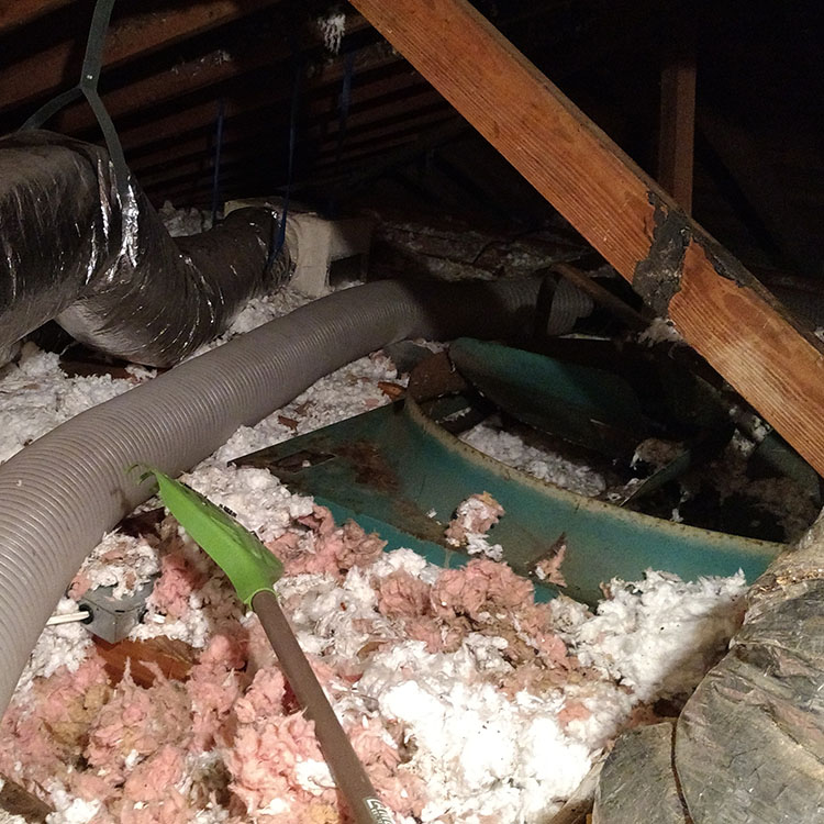 Raccoon damage to attic insulation